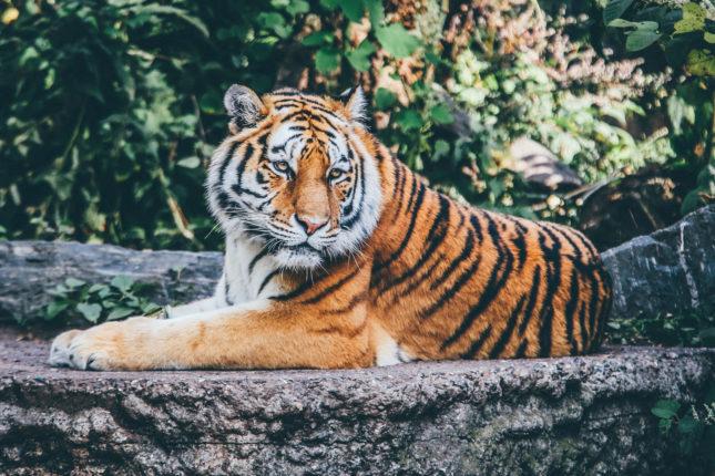 Тест: Амурский тигр