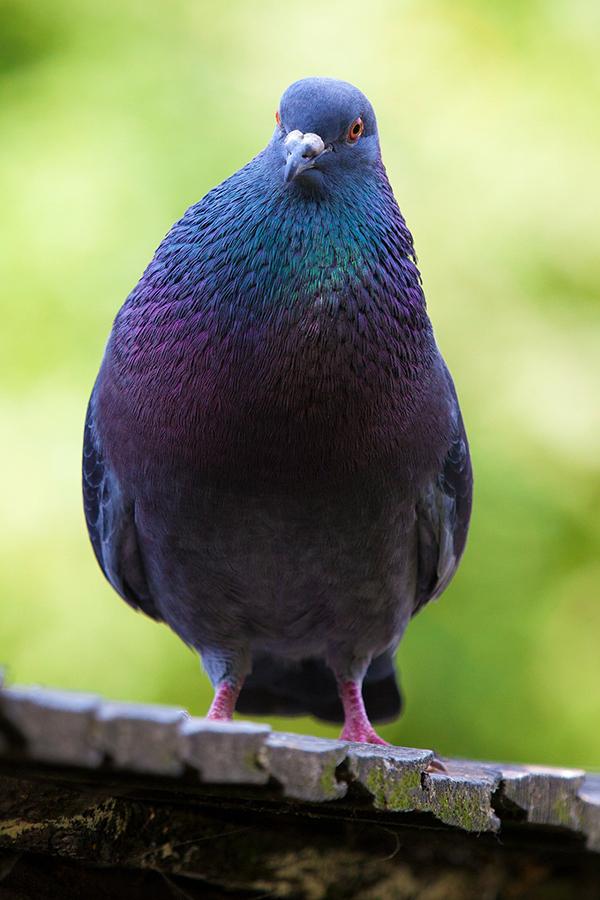 Сизый голубь - загадки