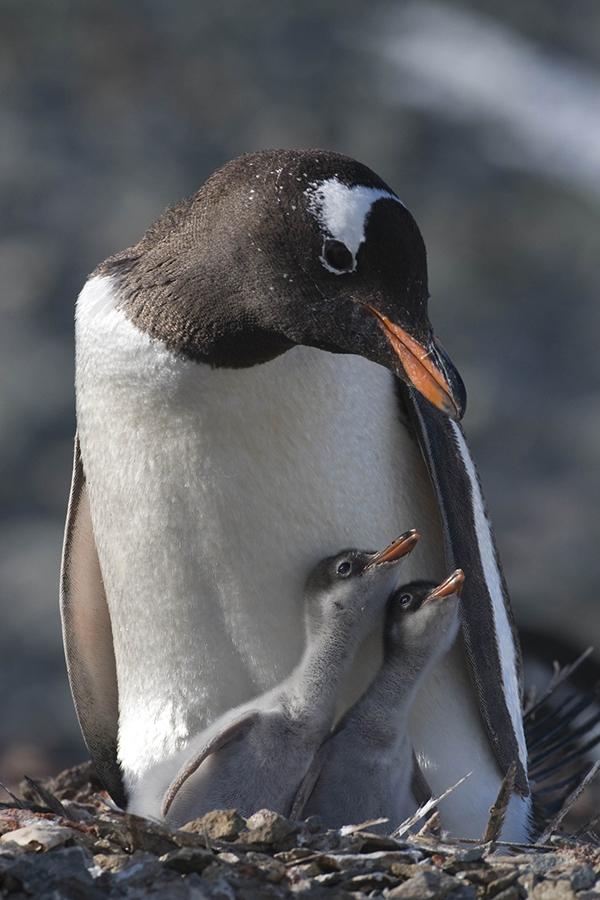 Пингвин - загадки о птицах