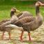Загадки о гусе для детей